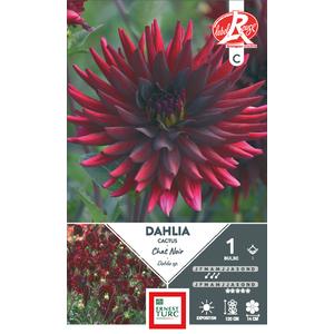 Bulbe de Dahlia Cactus Chat rouge et noir 638446