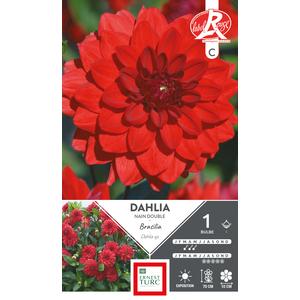 Bulbe de Dahlia nain double Brasilia rouge 638692