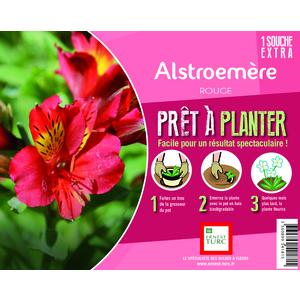 Souche d'Alstroemere rouge extra en bourriche 638892