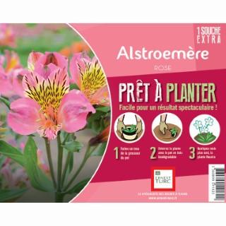 Souche d'Alstroemere rose extra en bourriche 638893