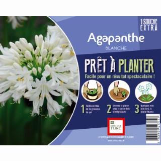 Souche d'Agapanthe blanche extra en bourriche 638899
