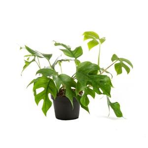 Philodendron minima – Pot de Ø12 cm 645262