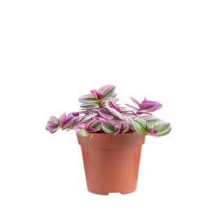 Tradescantia Nanouk - Pot de 12x10 cm 645263