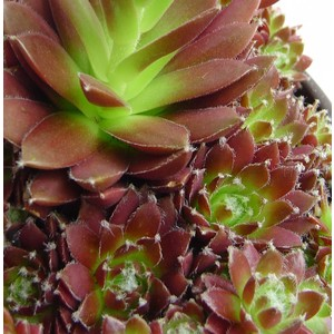 Joubarbe Sempervivum en pot de 2,9 L 646972