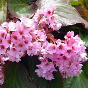 Bergénia rose en pot Ø 12 cm 646977