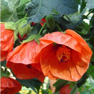 Abutilon rouge en pot de 2,5 L 647002