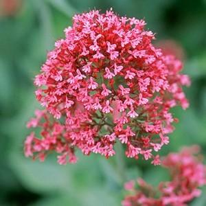 Valériane vivace rose en pot déco de 2 L 647022