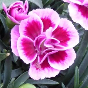 Dianthus Pink Kisses rose en jardinière de 25 cm 647024