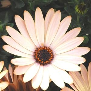 Ostéospermum Dimorphothéca multicolore en jardinière de 40 cm 647030