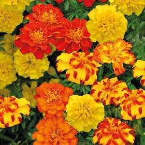 Œillet d'Inde jaune ou orange en pot de 1 L 647050