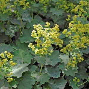 Alchemille jaune en pot de 2 L 647093