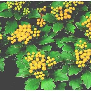 Ajania Pacifica jaune en pot de 3 L 647167