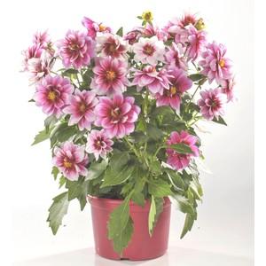 Dahlia tubéreux multicolore en pot de 6 L 647169
