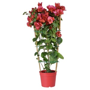Bougainvillée palissée rose en pot de 6 L 647274