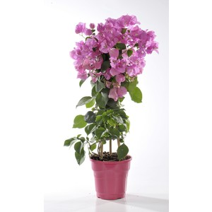 Bougainvillée violet de Mèze en pot de 6 L 647275