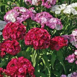 Œillet des poètes rose en pot de 6 L 647278
