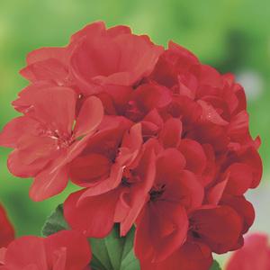 Géranium zonale Label rouge en pot de 3 L 647292