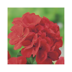 Géranium zonale Label rouge en jardinière de 50 cm 647294
