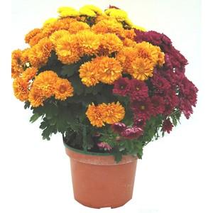 Chrysanthème multifleurs Arlequin multicolore en pot Twist 32x32 cm 647296
