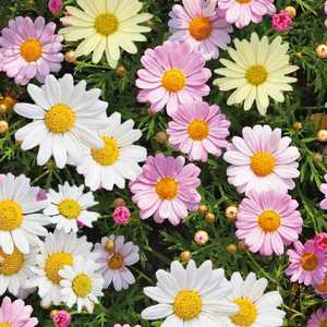 Anthemis Trio multicolore en pot de 12 L 647309