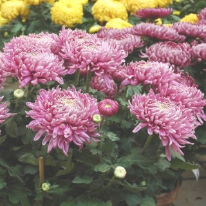 Chrysanthème à grosses fleurs multicolore en coupe Ø 35 cm 647390