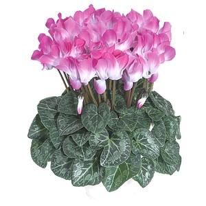 Cyclamen à grandes fleurs Indiaca rose en pot de 3 L 647391