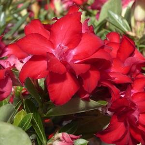 Adénium rose en coupe Ø 21 cm 647395
