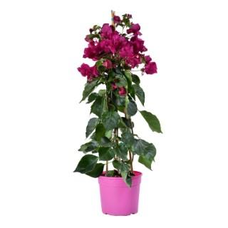 Bougainvillée rose avec tipi en pot de 15 L 647398