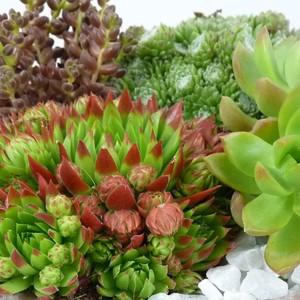 Plantes grasses variées en pot Ø 15 cm de 1 L 647436