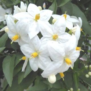 Solanum Jasminoides Tippi ou faux jasmin blanc en pot de 1,6 L 647449