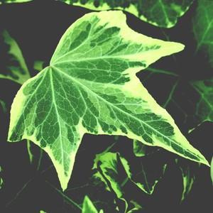 Lierre vert Hedera Panaché en barquette de 6 plants 647453