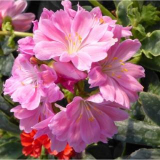 Lewisia Cotyledon multicolore en barquette de 6 plants 647454
