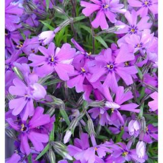 Phlox nain coloris variés en barquette de 6 plants 647455