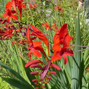 Crocosmia orange en pot de 1 L 647456
