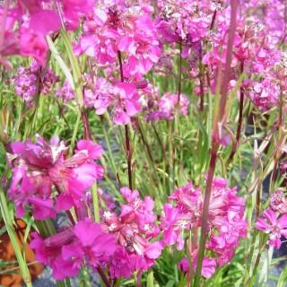 Lychnis Viscaria Carmin rose en pot de 1,6 L 647460