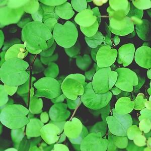 Muehlenbeckia Complexa vert en pot de 1,6 L 647461