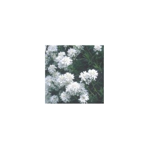 Iberis Sempervirens. La barquette de 6 plants 970770
