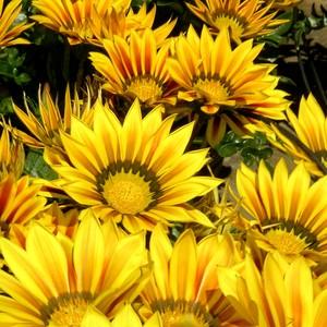 Gazania jaune en pot de 3 L 648737