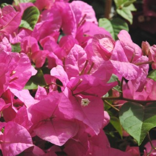 Bougainvillée colonne multicolore 100 cm en pot de 13 L Ø 30 cm 648959