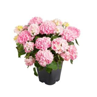 Hortensia Hydrangea Macrophylla en pot de 5L 651167