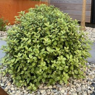 Pittosporum Tenuifolium Pom Pom en pot de 4 L vert 651171