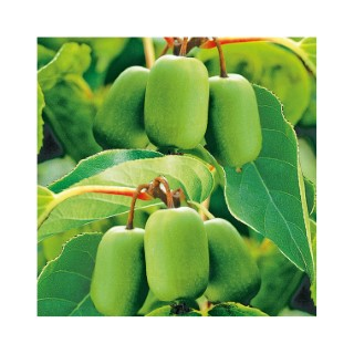 Kiwaï Femelle Ambrosia bio 651884