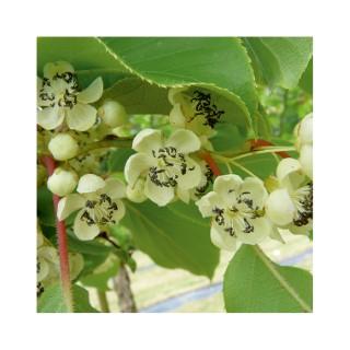 Kiwaï Mâle Nostino bio 651886