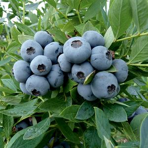 Myrtille Sunshine Blue bio 651887