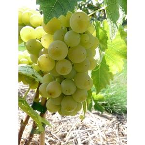 Vigne Seyval Blanc en conteneur de 5L jaune 651896