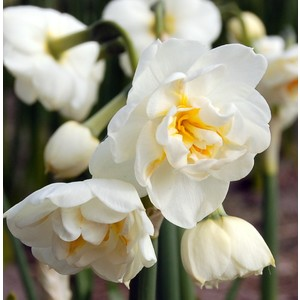Narcisse blanc double. Pot terre cuite 652159