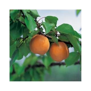 Abricotier-Muscat de Provence pot 25 L 1/2 tige 655160