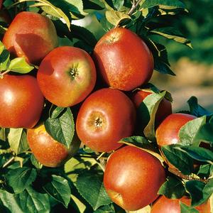 Pommier Delbard Jubile® Delgollune bio pot 12 L coloris rouge 655457