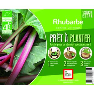 Rhubarbe Bio pied mère extra en bourriche prêt à planter 657555