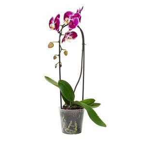 Phalaenopsis cascade multicolore botanic® + cache-pot – Pot de 19 cm 658003